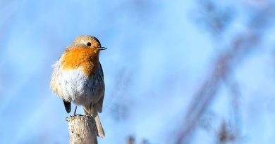 Robin on post