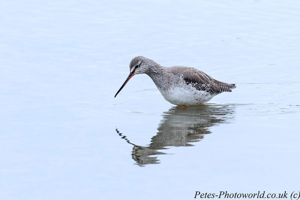 A Spotted Redshank