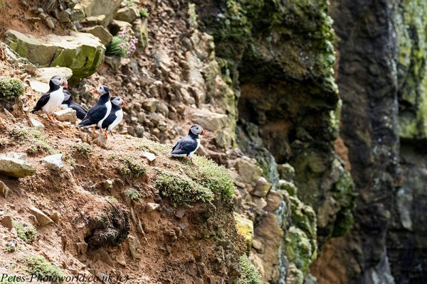 Puffins on the Wick cliff face