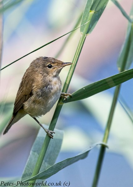Reed Warbler on reed
