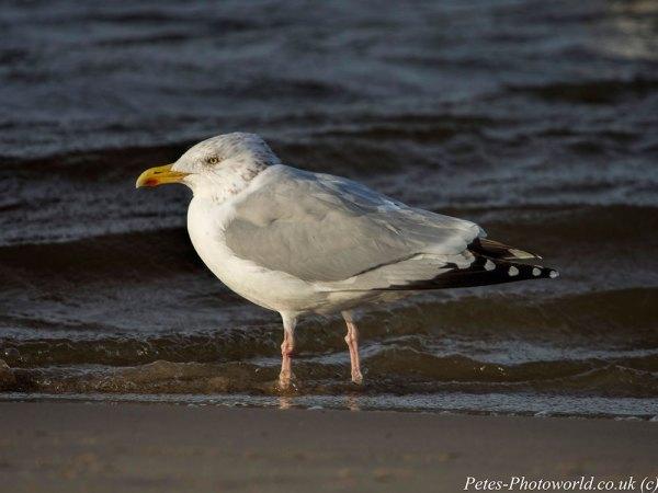 Adult Herring Gull