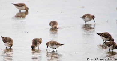 Flock of Dunlin feeding