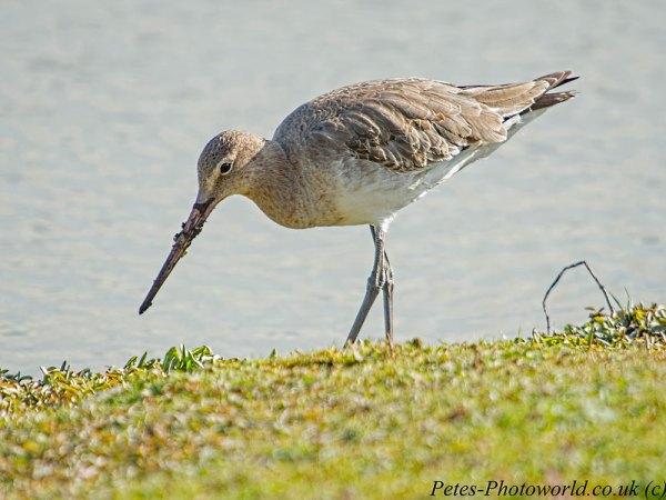 Black-tailed Godwit (2)