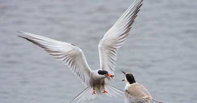 Common Tern sequence (1)