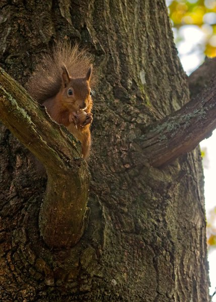 Red Squirrel in tree eating a nut portrait