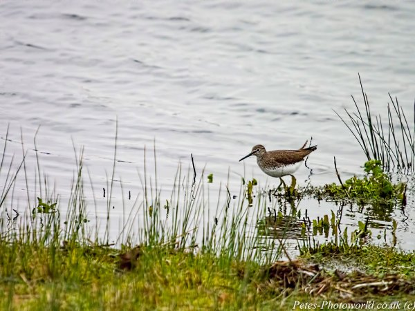 Common Sandpiper (2)