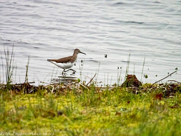 Common Sandpiper on the move