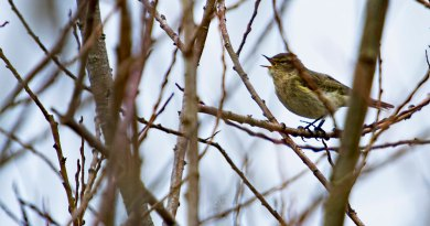 Chiffchaff in full song