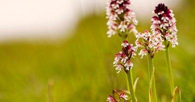 Burnt-tip orchids
