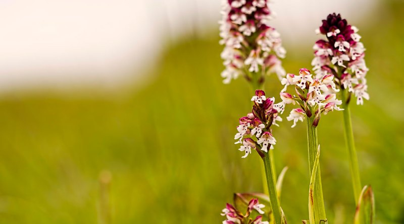 Burnt-tip orchids