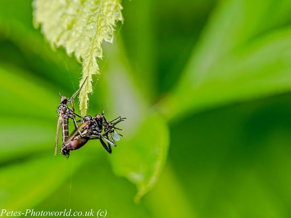 Mating Dance Flies