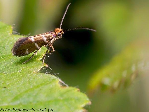 Little Longhorn moth profile
