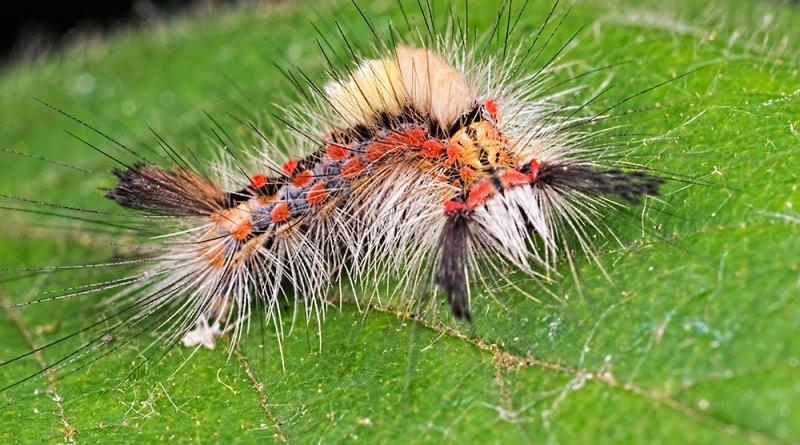 The Vapourer moth caterpillar