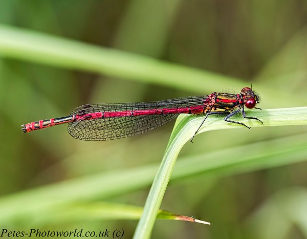 5 image stack of a Large Red Damselfly