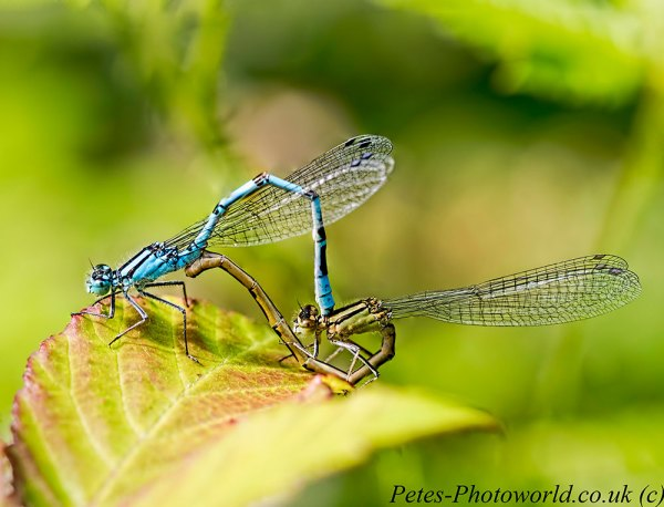 5 image stack of a mating pair of Common Blue damselflies