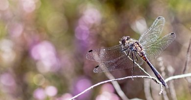 A Black Darter dragonfly with flowering heather in the background