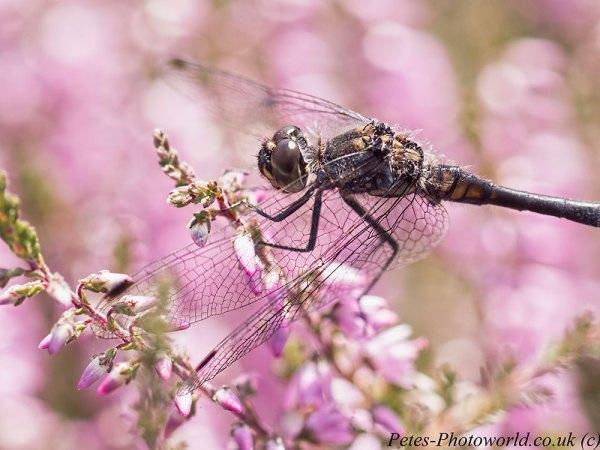 Close up to a Black Darter dragonfly