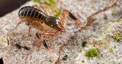 Dark-clawed Chthonid Pseudoscorpion