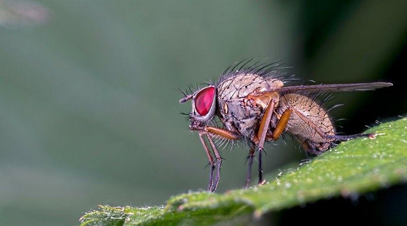 Fannia canicularis housefly
