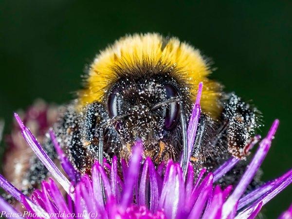 Bumble Bee head shot