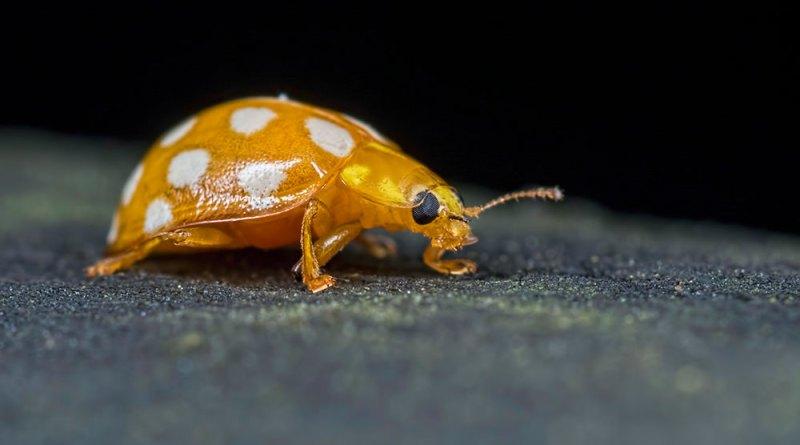Orange Ladybird