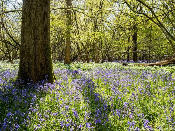 Garston Wood Bluebells & Ramsons (1)