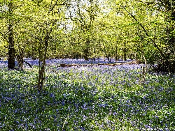 Garston Wood Bluebells & Ramsons (2)