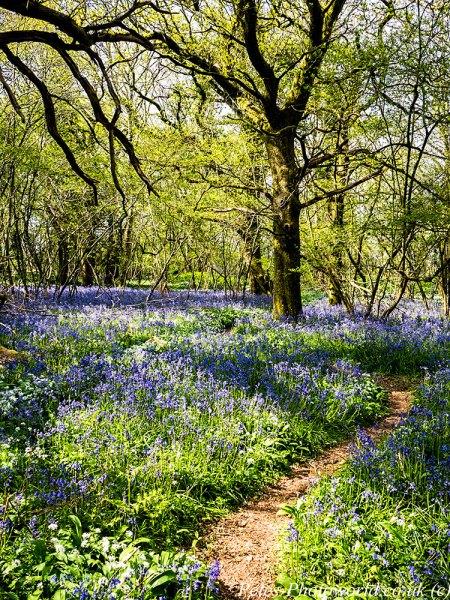 Garston Wood Bluebells