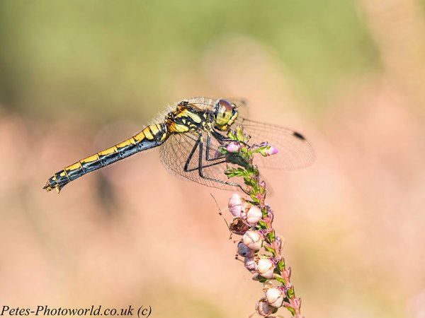 Black Darter dragonfly profile Topaz Studio