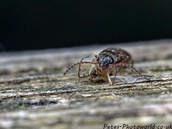 Munching beetle