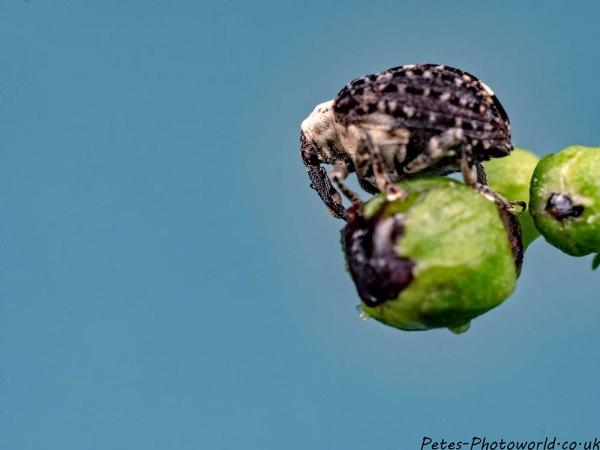 Figwort Weevil (Cionus scrophulariae)