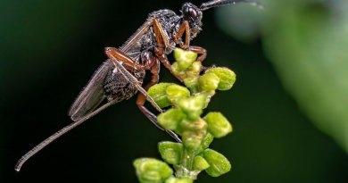 Black slip wasp (Pimpla rufipes)