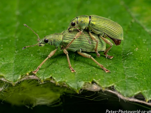 Mating Green Nettle weevils