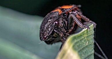 Red & Balck Froghopper (Cercopis vulnerata)
