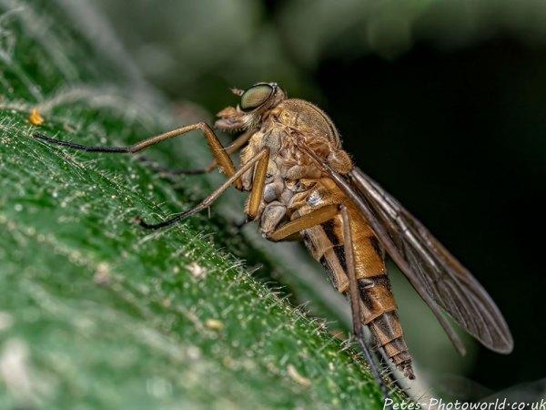 Robberfly II
