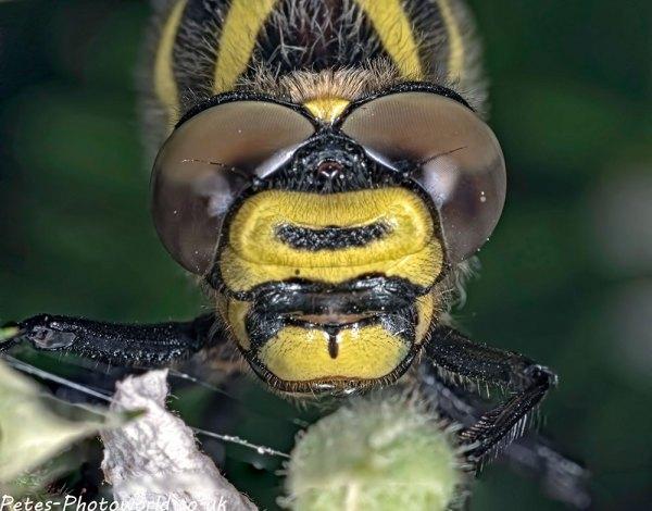 2 shot stack of Golden-ringed dragonfly face (Cordulegaster boltonii)