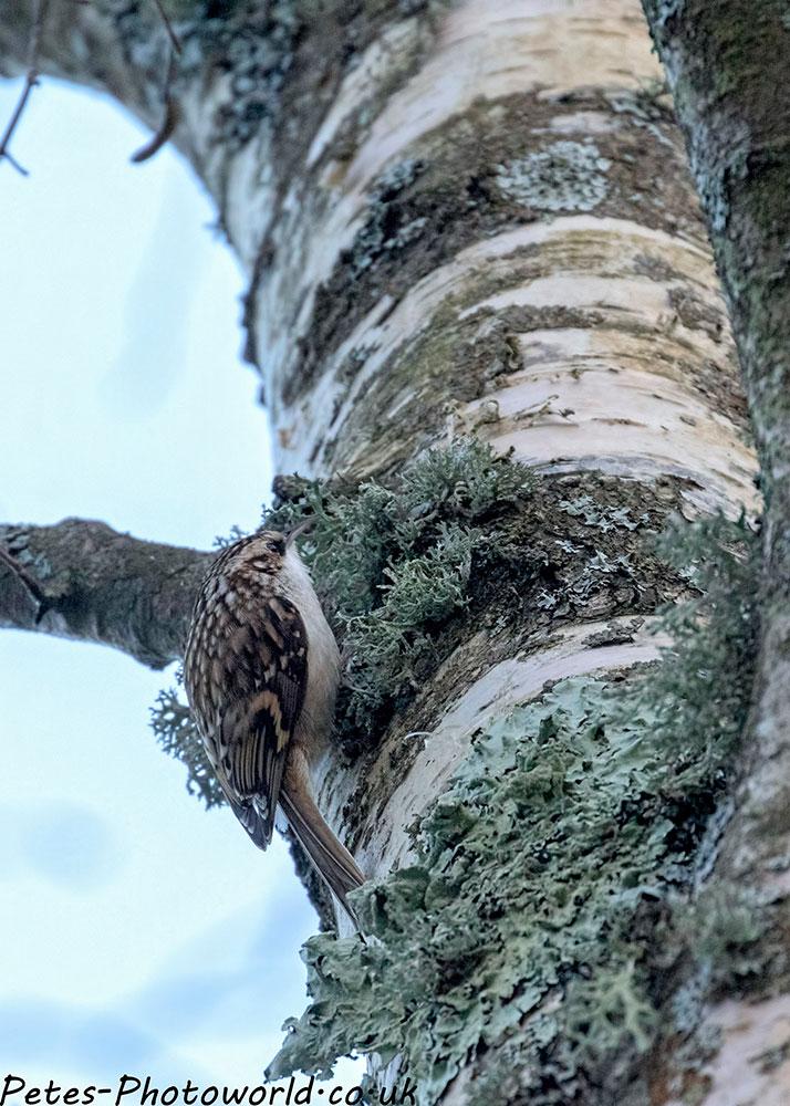 A Treecreeper (Certhia familiaris)