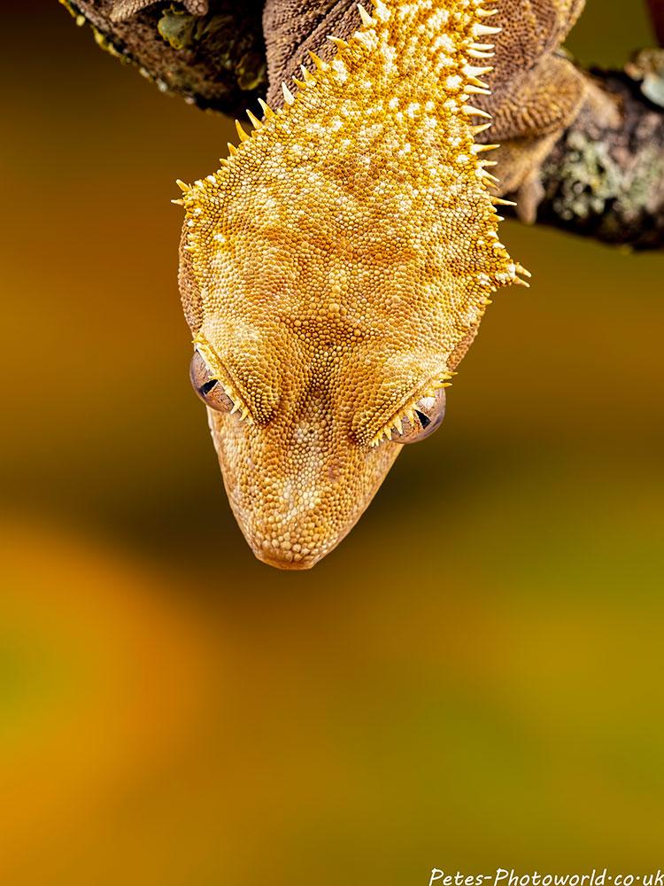 Golden gecko head shot