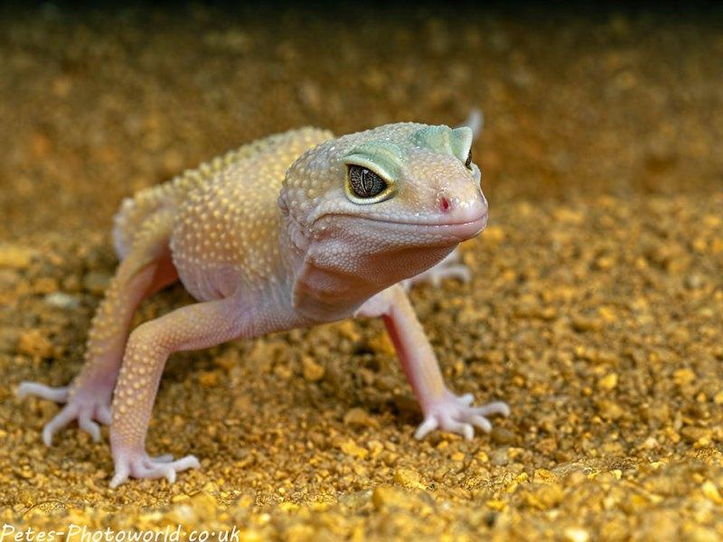 Albino common leopard gecko