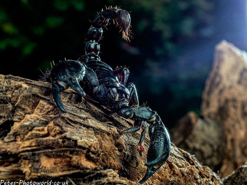 The scorpion II