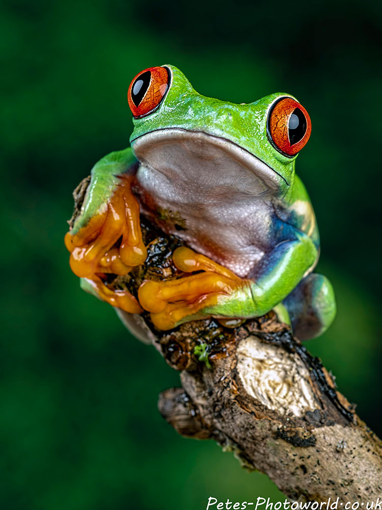 Red-eyed treefrog II