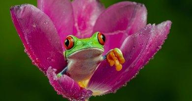 Red-eyed treefrog IV