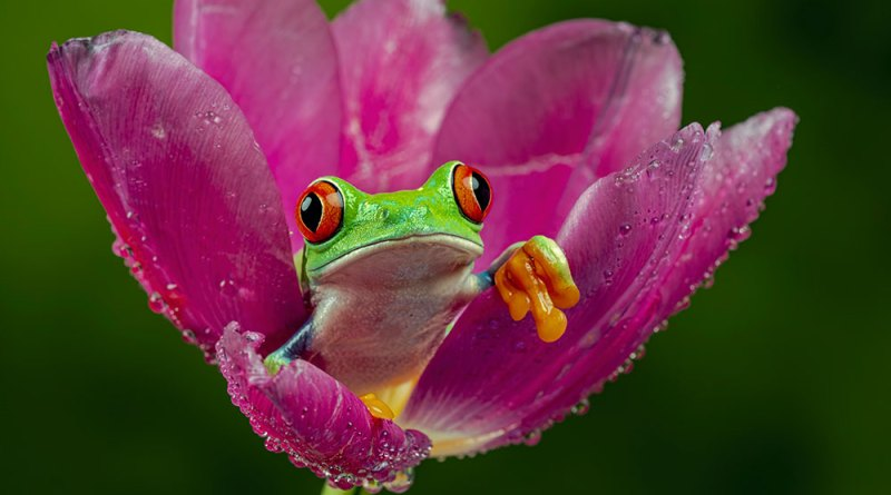 Red-eyed treefrog IV