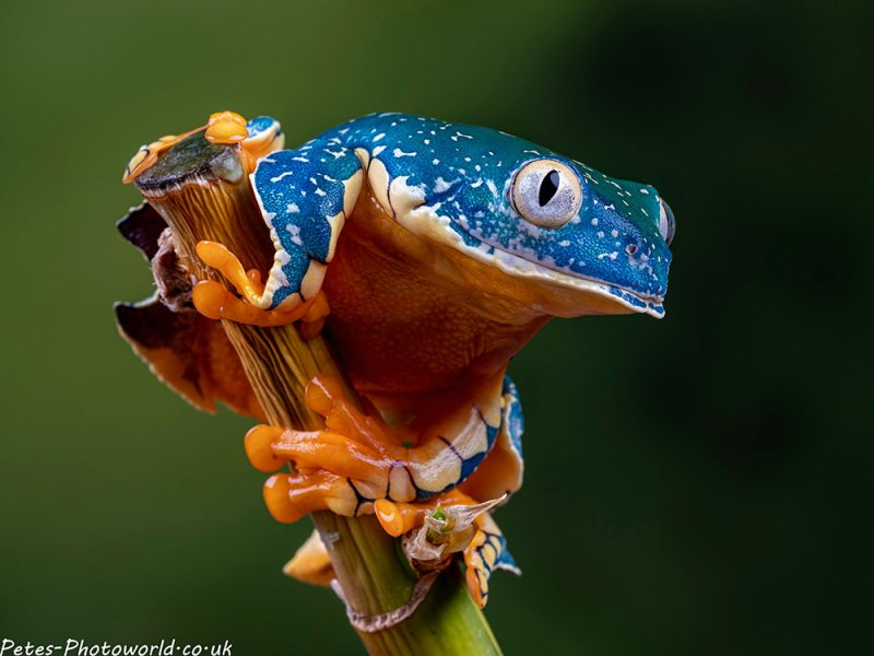 Fringed tree frog