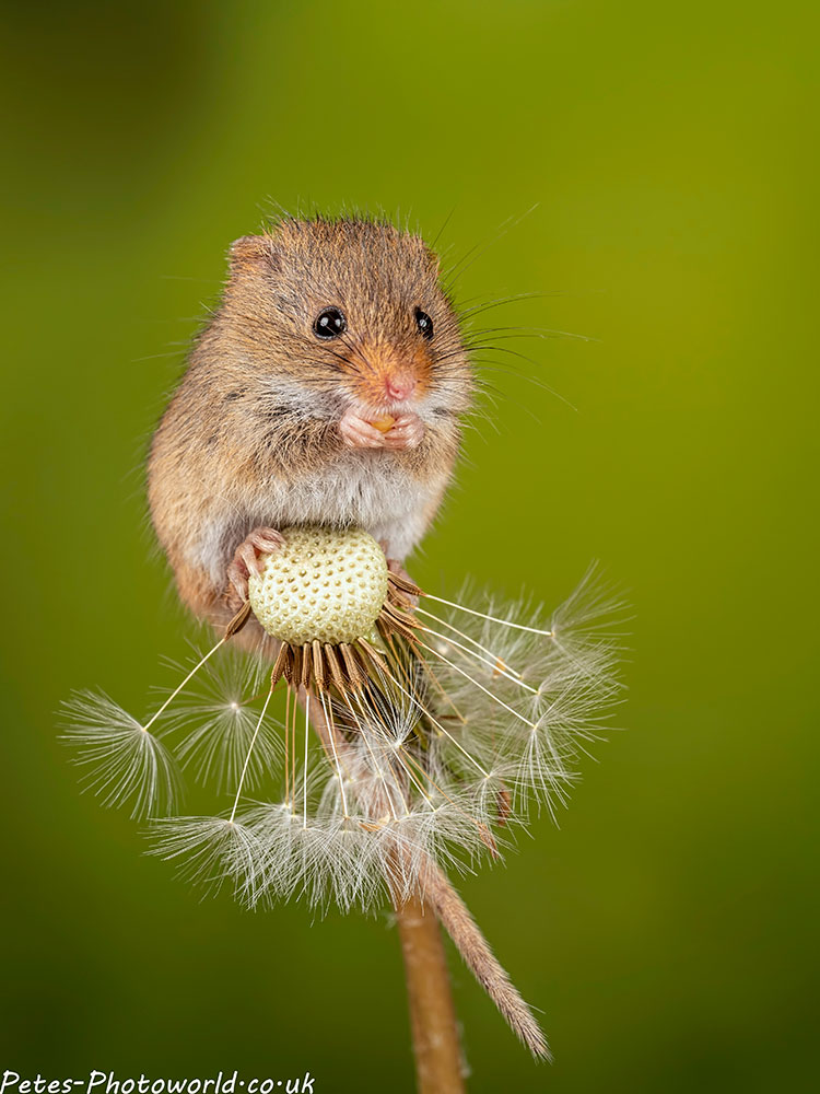 Harvest mouse on a Dandelion