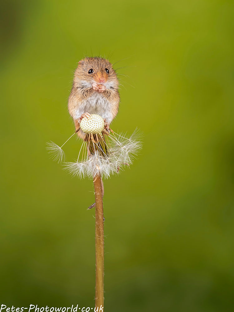 Harvest mouse on a Dandelion II