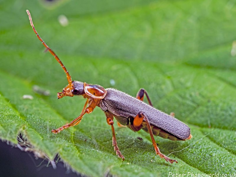 Cantharis cryptica soldier beetle