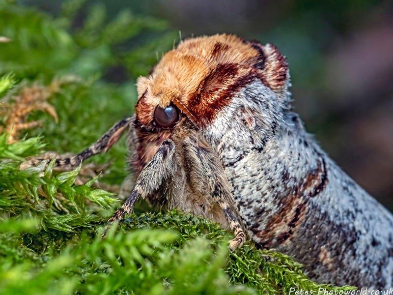 Buff tip moth II