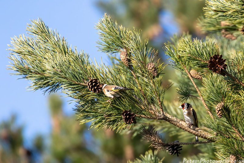 A Goldfinch eating the pine cone seeds