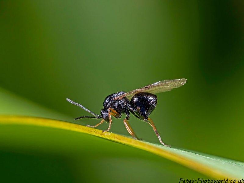 Black fly with orange legs